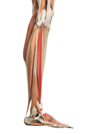extensor: medically accurate illustration of the extensor digitorum longus