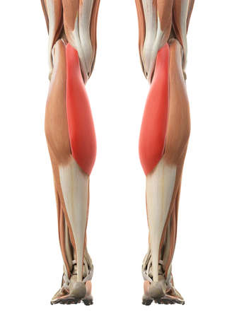 腓腹筋内側頭の医学的に正確な図 写真素材