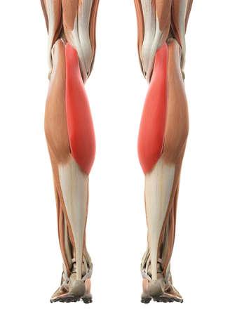 illustration médicale précise de la tête médiale gastrocnémien Banque d'images