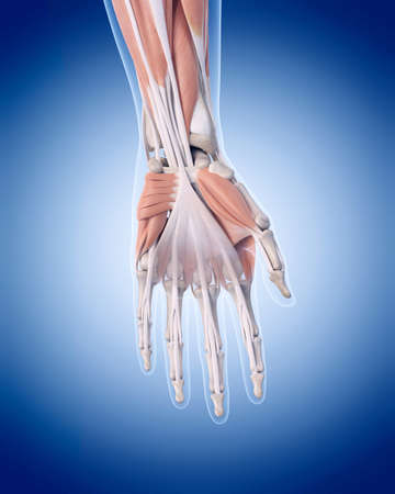 tendon: medically accurate illustration of hand muscles