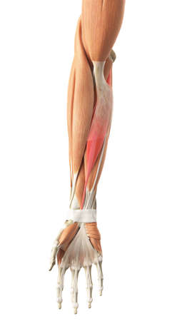 arm muscles: medically accurate illustration of the flexor carpi radialis