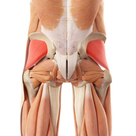 medically accurate illustration of the gluteus minimus Stock Photo