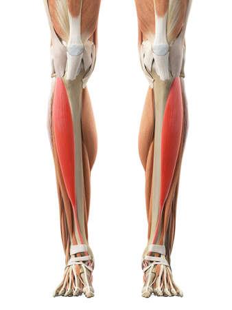 illustrations médicales exactes du jambier antérieur
