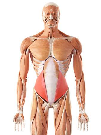 illustration médicale précise de l'oblique interne