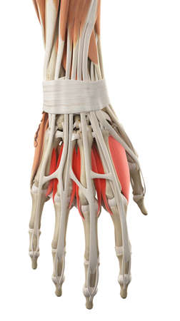 dorsal: medically accurate illustration of the dorsal interosseous muscles Stock Photo