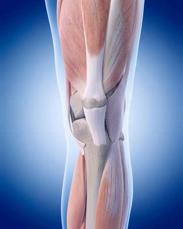 de rodillas: ilustración médica precisa de la anatomía de la rodilla Foto de archivo