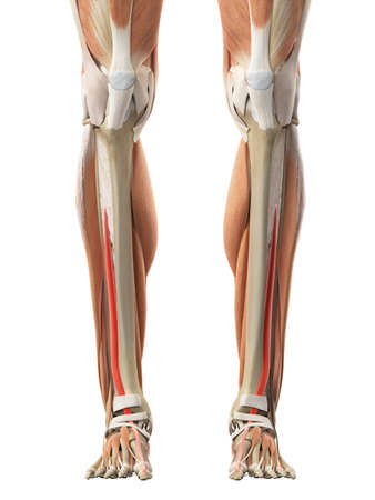 a leg: medically accurate illustration of the extensor hallucis longus