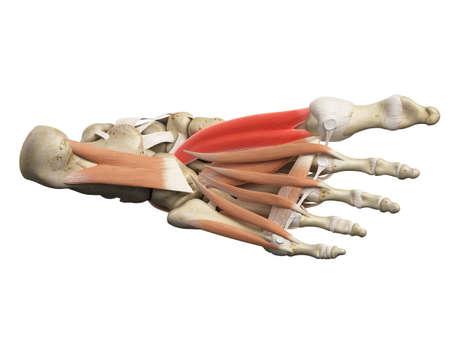 flexor: medically accurate illustration of the flexor hallucis brevis