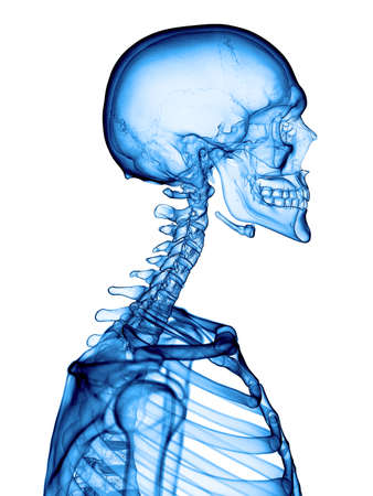 human spine: accurate medical illustration of the cervical spine Stock Photo