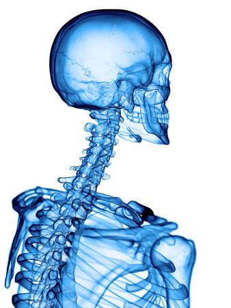 cervicales: ilustraci�n m�dica precisa de la columna cervical