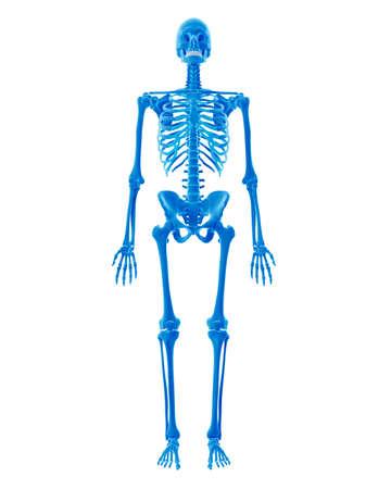 esqueleto humano: ilustración médicamente exacta del esqueleto humano