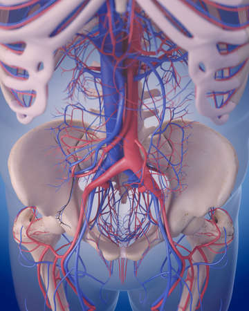 vena: medically accurate illustration of the circulatory system - abdomen