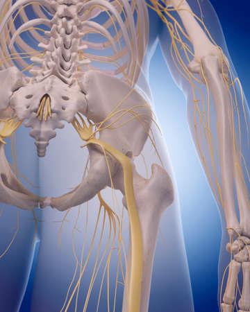 sacral nerves: medically accurate illustration -  sciatic nerve