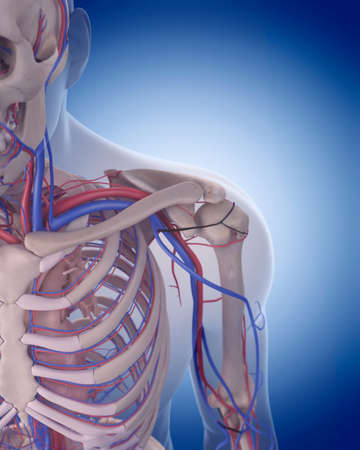 axillary: medically accurate illustration of the circulatory system - shoulder