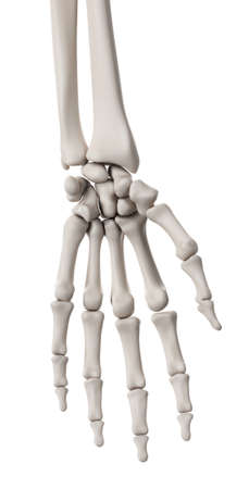 skeletal: medically accurate illustration of the skeletal system - the hand