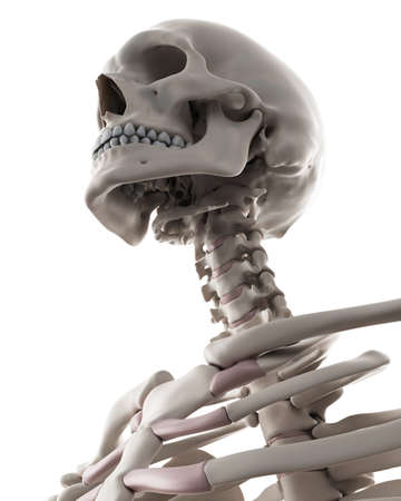 skeletal: medically accurate illustration of the skeletal system - the neck Stock Photo