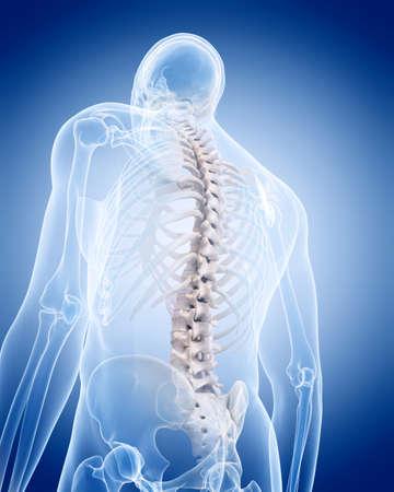 scheletro umano: illustrazione medico accurato dello scheletro umano - colonna vertebrale