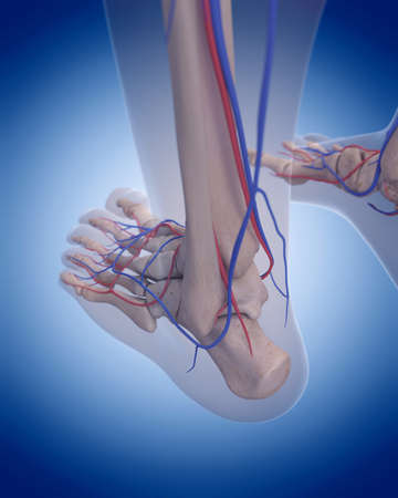 bones of the foot: medically accurate illustration of the circulatory system - foot Stock Photo