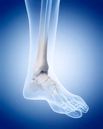 ankle: medically accurate illustration of the human skeleton - the ankle