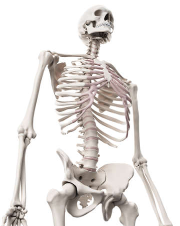 intervertebral disc: medically accurate illustration of the skeletal system - the thorax Stock Photo