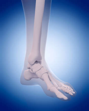 foot bones: medically accurate illustration - bones of the foot Stock Photo