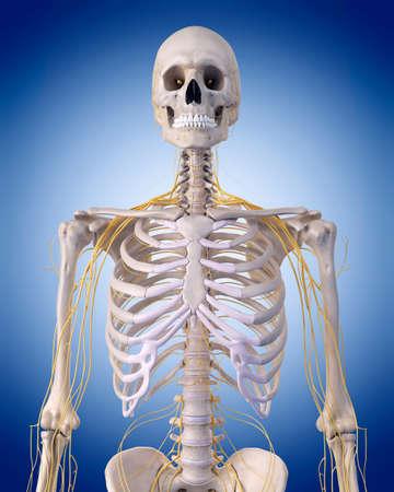 nervios: m�dicamente correcta ilustraci�n - nervios de la parte superior del cuerpo Foto de archivo