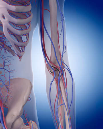 circulatory: medically accurate illustration of the circulatory system - elbow