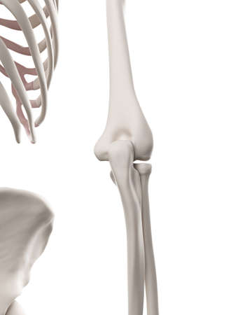 elbow: medically accurate illustration of the skeletal system - the elbow