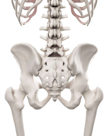 sacral: medically accurate illustration of the skeletal system - the hip and lower spine Stock Photo