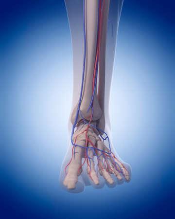 pies masculinos: ilustración médica precisa del sistema circulatorio - pie