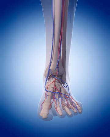 transparent system: medically accurate illustration of the circulatory system - foot Stock Photo