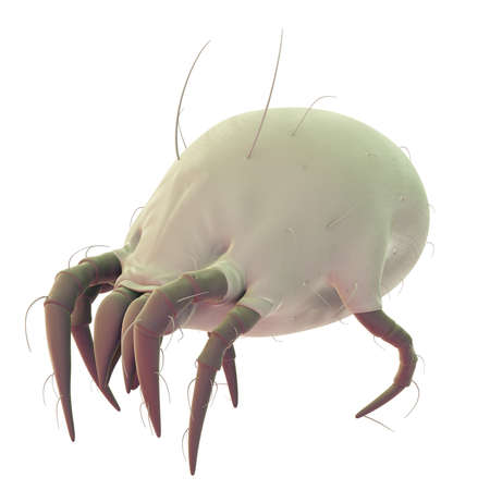 mite: medically accurate illustration of a common dust mite