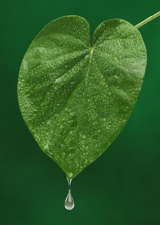 Green fresh leaf with a water drop falling  Natural background photo