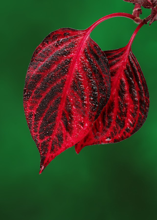 Fresh red leaves on green background photo