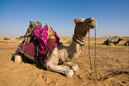 Camel on safari - Thar desert, Rajasthan, India