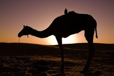 thar: Silhouette of a camel at sunrise, with a crow on its back - Thar desert, Rajasthan, India