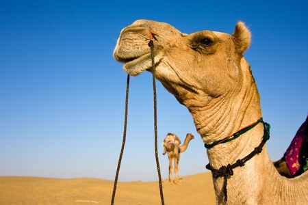 rajasthan: Head of a camel on safari - Thar desert, Rajasthan, India Stock Photo