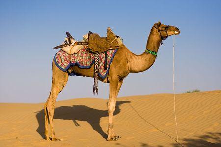 saddle camel: Camel on safari - Thar desert, Rajasthan, India
