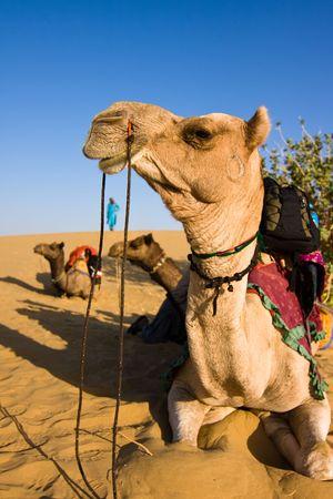 camello: Safari en camello - desierto de Thar, Rajast�n, India