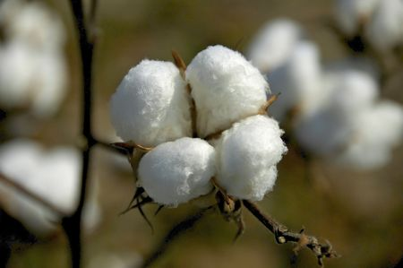 boll: Cotton Boll 2 Stock Photo
