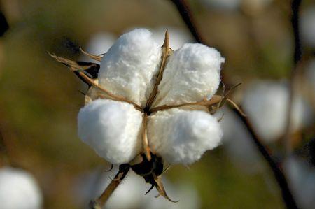 Cotton Boll 3