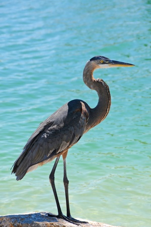 Great Blue Heron Standing on the Shoreline  photo