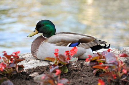 mallard: De pie de pato silvestre en el grano de la flor de pared en el río Foto de archivo