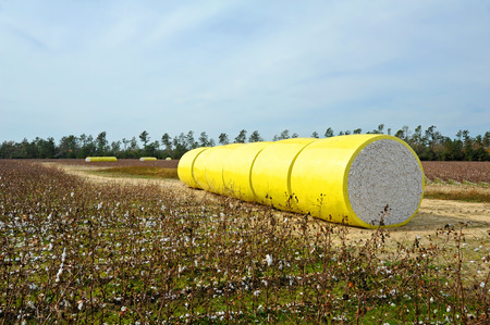 plant gossypium: A Round Bale of Harvested Cotton Wrapped in Yellow Plastic Sirtting in the Field