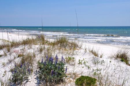 gulf: Beautiful Sand Dunes, Flowers and Sea Oats on the Florida Coastline Stock Photo