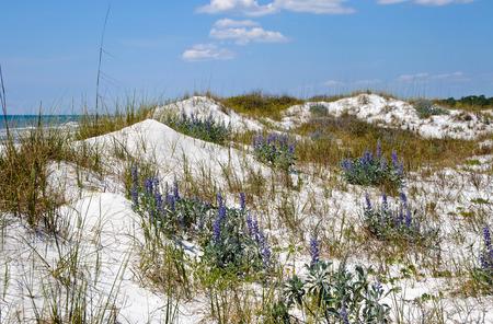 sea oats: Beautiful Sand Dunes, Flowers and Sea Oats on the Florida Coastline Stock Photo