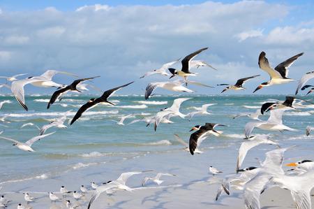 bandada pajaros: Un grupo grande de gaviotas tomar vuelo de la Playa