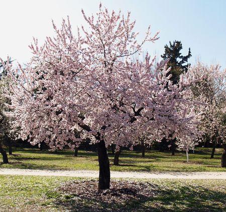 amandier à fleurs dans une journée de printemps ensoleillé  Banque d'images