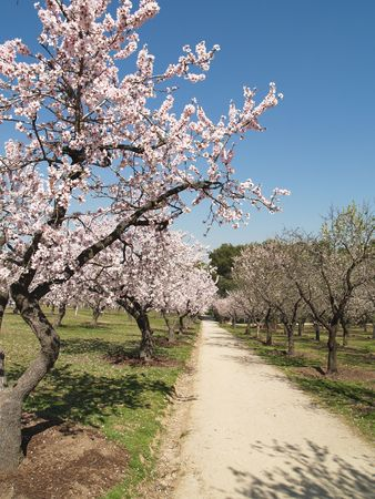 trough: road trough almond trees in a sunny spring day Stock Photo