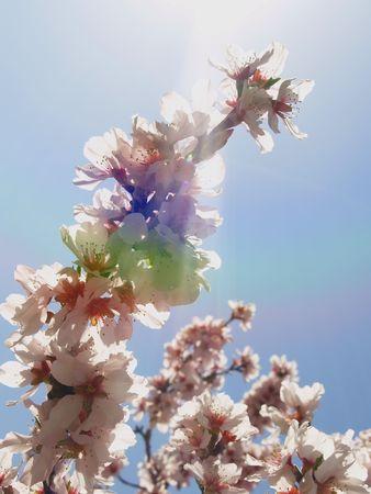 Sun Ray par le biais d'amande fleur sur un ciel bleu  Banque d'images